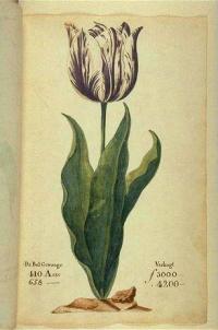 Tulipe Pays-Bas 1637